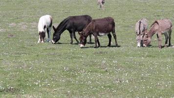 Esel auf der Weide video