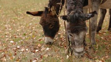 dos burros pastando