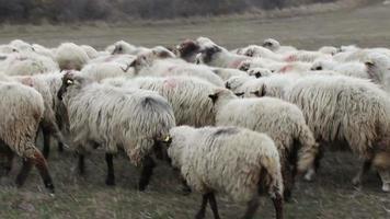 burro entre ovelhas