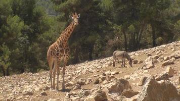 girafa e burro