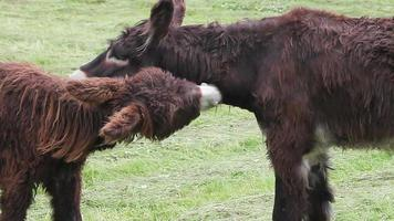 Two donkeys maintaining their fur. video