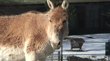 burro en un zoológico 2 video