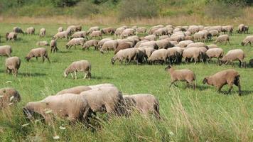 pecore in un prato
