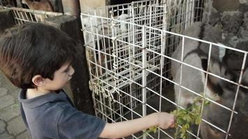 Kid Feeds Donkey Alfalfa Herbs video