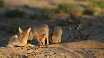 famiglia di cape fox video