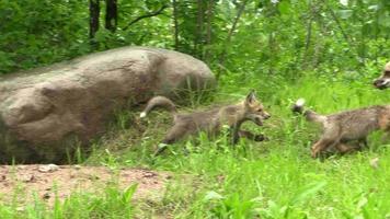 cachorro de zorro rojo muerde la cola de las madres