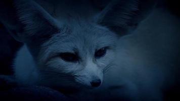 raposa de orelhas compridas junto com seu companheiro