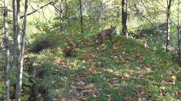 vos in herfst bos