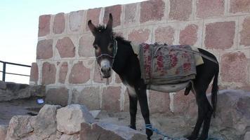 Burro. Monte Sinai. Egipto