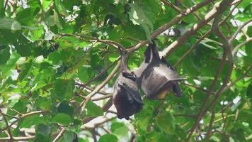 Flying Fox est suspendu à une branche d'arbre et se lave