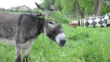 donna asino nutrire l'erba