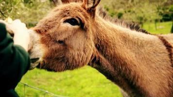 burro en la granja