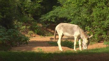 Donkey grazing & hog video