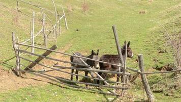 dois burros perto do obstáculo video