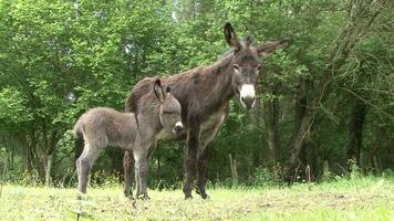 Full HD footage of a donkey's foal and his mother