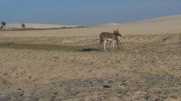 asini che giocano in un deserto video