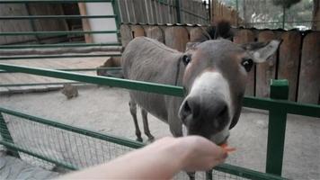 concetto di pov, alimentazione asino allo zoo