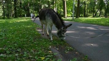 burro pastando en el parque