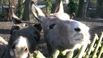 grappige ezels hd pal ntsc video