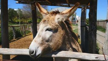 burro gris en una granja video
