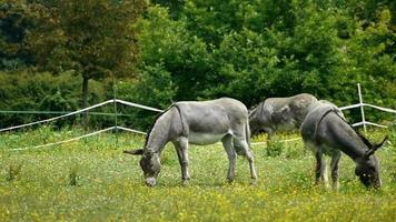 burros no interior da França video