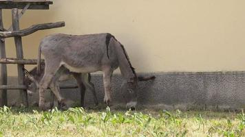 femmina di asino che mangia erba in fattoria