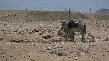 âne avec selle dans le désert aride