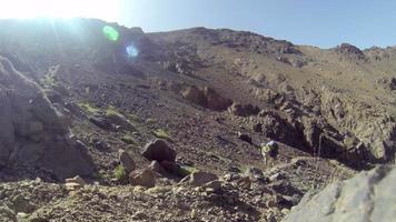 bellissimo mulo bianco con bagagli in movimento su sentiero di montagna