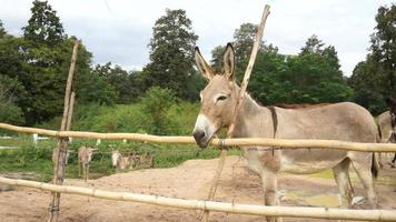 Herd of donkeys and mule behind fence