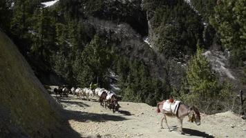 carovana di asini in nepal - annapurna trekking