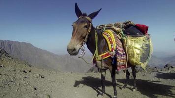 uma mula parada na passagem de montanha de alta altitude com bagagem video