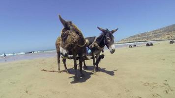 Two young donkey foal with wooden yoke, beach, medium close