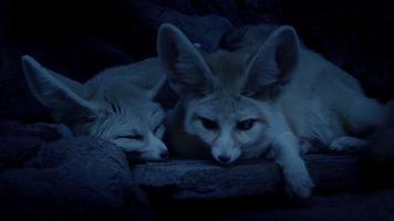 pareja de zorros del desierto acostados juntos en la guarida