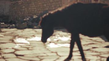 Ponys in einer Straße eines abgelegenen Dorfes in Nepals Mustang-Viertel.