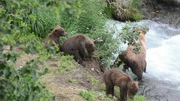 orso bruno dell'Alaska con cuccioli video