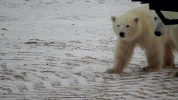 un cucciolo di orso polare guarda nella telecamera video