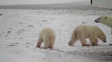 un ourson polaire quitte sa mère