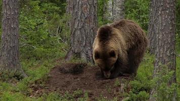 europäischer braunbär - ursus arctos arctos - oso pardo euroasiático video