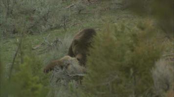 grizzy che mangia alce video