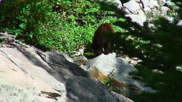 oso caminando por una ladera video