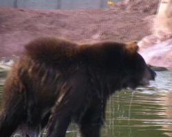 ntsc: cucciolo di orso nero che si scrolla di dosso l'acqua video