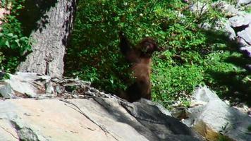 oso comiendo hojas video