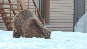 orso grizzly rilassante video
