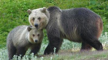 ursa e filhote de urso. video