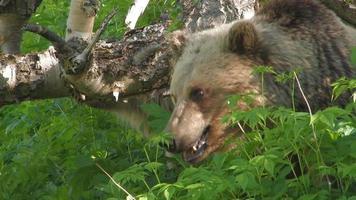 lei-orso e cucciolo di orso. video