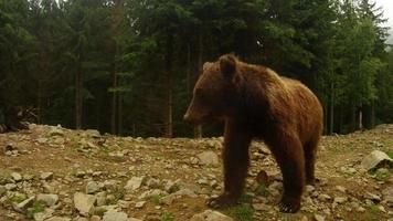 Pata de oso salvaje espectáculos divertidos sobre un fondo de bosque de pinos