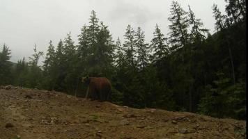 Oso pardo en tiempo nublado en el borde rocoso de un bosque de pinos, el plan general de montaña plantea en la cámara