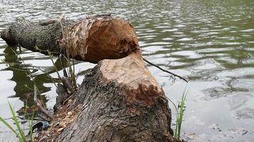 arbre tombé, abattu par les castors video