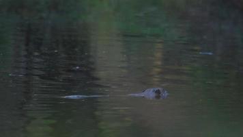 castor nadando em águas calmas. video