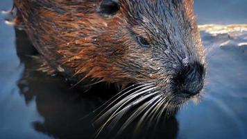 castor se déplaçant dans l'eau video